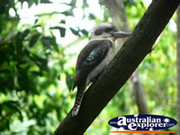 Kookaburra in a tree . . . CLICK TO ENLARGE