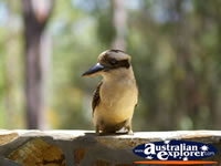 Little Kookaburra on a branch . . . CLICK TO ENLARGE