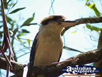 Kookaburra Closeup in a tree . . . CLICK TO ENLARGE