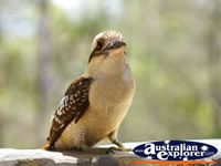 Kookaburra posing for the camera . . . CLICK TO ENLARGE