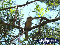 Kookaburra high in a tree . . . CLICK TO ENLARGE