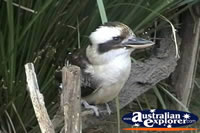 Kookaburra . . . CLICK TO ENLARGE