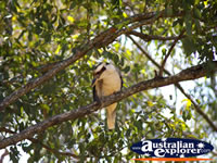 Kookaburra in the Glasshouse Mountains . . . CLICK TO ENLARGE