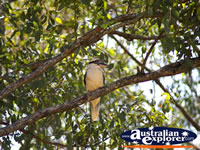 Kookaburra in a tree on the Glasshouse Mountains . . . CLICK TO ENLARGE