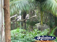 Kookaburra Wildlife . . . CLICK TO ENLARGE