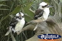 Two Kookaburras . . . CLICK TO ENLARGE