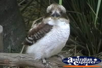 Close up of Kookaburra . . . CLICK TO ENLARGE