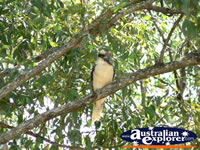 Kookaburra Resting in Tree . . . CLICK TO ENLARGE
