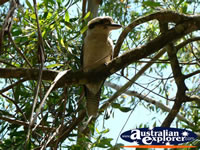 Kookaburra Closeup . . . CLICK TO ENLARGE