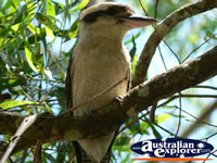 Glasshouse Mountains Kookaburra . . . CLICK TO ENLARGE