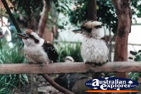 Kookaburras Perched on Branch . . . CLICK TO ENLARGE