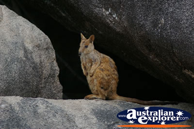 Peaceful Rock Wallaby . . . CLICK TO VIEW ALL ROCK WALLABIES POSTCARDS