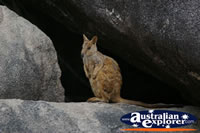 Peaceful Rock Wallaby . . . CLICK TO ENLARGE