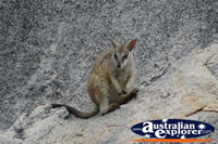 Rock Wallaby at Magnetic Island . . . CLICK TO ENLARGE