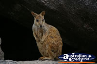Calm Magnetic Island Rock Wallaby . . . CLICK TO ENLARGE