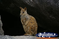Wallaby sitting on Rock . . . CLICK TO ENLARGE