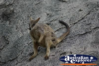 Rock Wallaby relaxed on Rock . . . CLICK TO ENLARGE