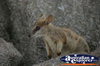 Close up of Rock Wallaby . . . CLICK TO ENLARGE