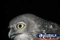 Close Up Of Owl . . . CLICK TO ENLARGE