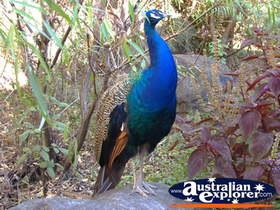 Peacock On Tamborine Mountain Photograph Peacock On Math Wallpaper Golden Find Free HD for Desktop [pastnedes.tk]