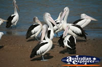 Group Of Pelicans . . . CLICK TO ENLARGE
