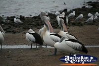 Cluster Of Pelicans . . . CLICK TO ENLARGE