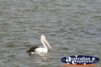 Swimming Pelican . . . CLICK TO ENLARGE