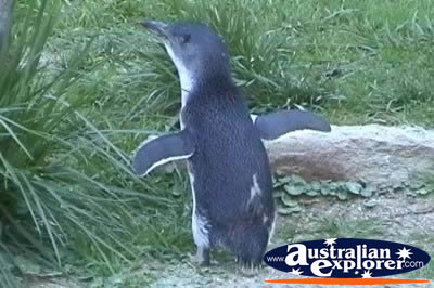 Penguin . . . VIEW ALL FAIRY PENGUINS PHOTOGRAPHS