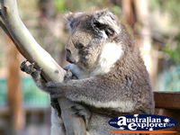 Cute Koala in a Tree . . . CLICK TO ENLARGE