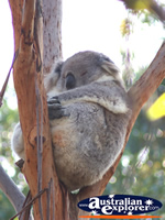 Sleeping Koala in a Tree . . . CLICK TO ENLARGE