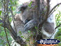 Koala Sleeping Soundly . . . CLICK TO ENLARGE
