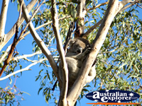 Koala at the Phillip Island Conservation Centre . . . CLICK TO ENLARGE
