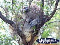 Chubby Koala Sleeping . . . CLICK TO ENLARGE