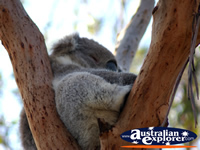 Little Koala Sleeping . . . CLICK TO ENLARGE
