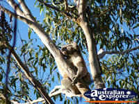 Koala Sleeping . . . CLICK TO ENLARGE