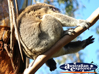 Balancing Koala . . . CLICK TO ENLARGE