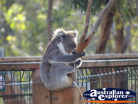 Koala from a Distance . . . CLICK TO ENLARGE