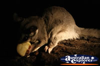 Possum Feeding . . . CLICK TO ENLARGE