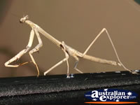 Nude Coloured Preying Mantis . . . CLICK TO ENLARGE