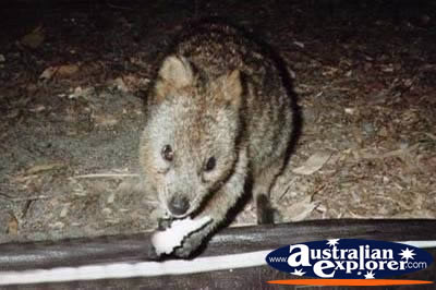 Hungry Quokka . . . VIEW ALL WALLAROOS PHOTOGRAPHS