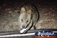 Hungry Quokka . . . CLICK TO ENLARGE