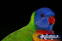 A Rainbow Lorikeet . . . CLICK TO ENLARGE