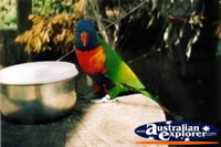 Rainbow Lorikeet . . . CLICK TO ENLARGE