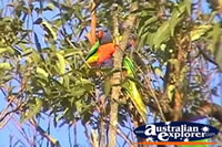 Rainbow Lorikeets in Trees . . . CLICK TO ENLARGE