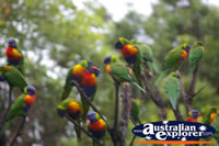 Cluster of Lorikeets . . . CLICK TO ENLARGE