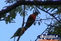 Rainbow Lorikeets on Branch . . . CLICK TO ENLARGE