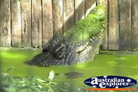 Saltwater Crocodile in Water Marineland Melanesia Cassius . . . CLICK TO ENLARGE
