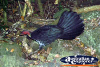 Scrub Turkey with Fan Tail . . . CLICK TO ENLARGE