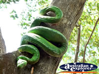 Large Snake in a tree . . . CLICK TO ENLARGE