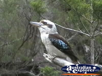 Kookaburra in Tamborine Mountain . . . CLICK TO ENLARGE